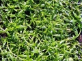 798px-Callitriche_palustris[1]
