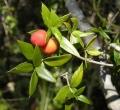 652px-Alyxia_ruscifolia_foliage_and_fruit[1]