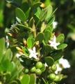 542px-Alyxia_buxifolia_Loch_Ard[1]