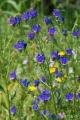 401px-Echium_April_2010-2[1]