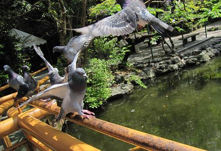 201005227鳩は意外に凶暴です