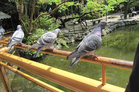 201005228鳩は意外に凶暴です