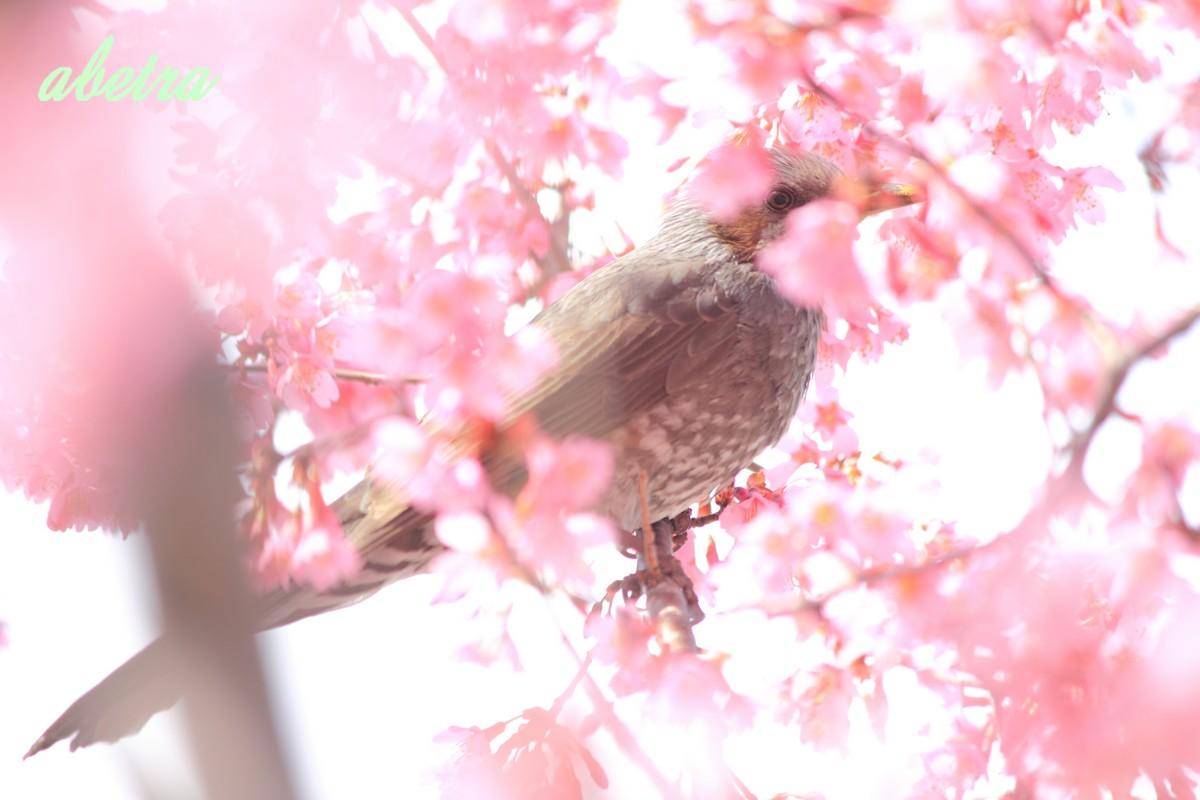 桜の花に…