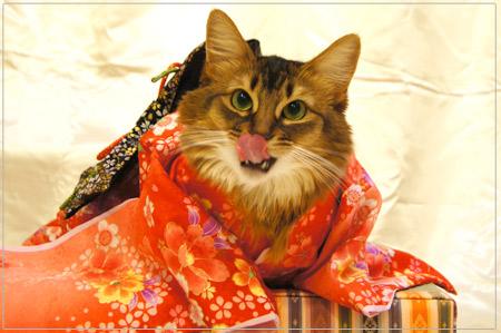 お着物でペロリン猫ソマリ