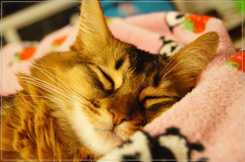 ソマリの可愛い寝顔.jpg