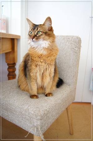可愛いから許されるソマリの猫モンさん.jpg