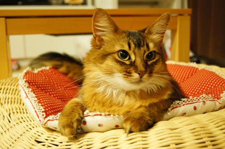 ソマリの猫・モンさん.jpg