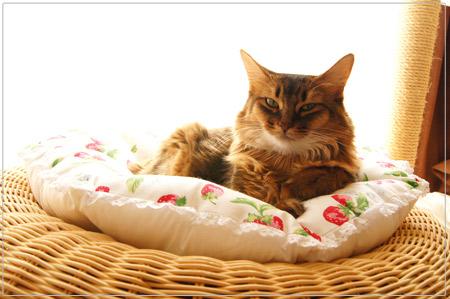 猫用クッションでくつろぐモンさん