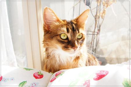 ソマリの猫モンさん