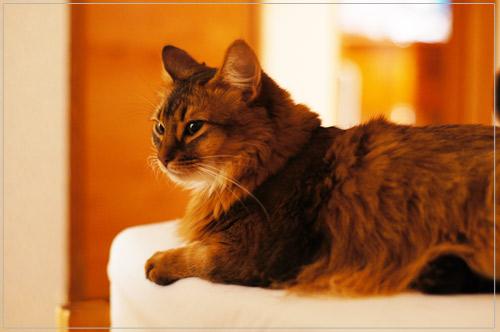 ソマリの猫モンさん・軽井沢プリマヴェーラにて@α55・50mm F1.4