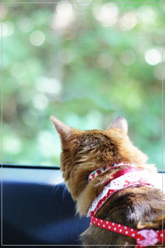 ソマリの猫モンさん・車の中@α55・50mm F1.4