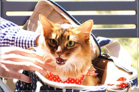 ソマリの猫モンさんのにゃー顔