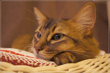 猫ソファ、ソマリのモンさん.jpg
