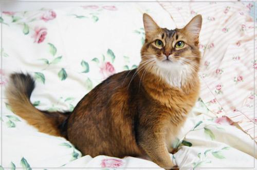 ローラアシュレイ猫ソマリ.jpg