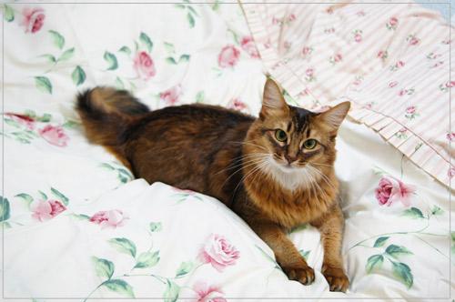 ローラアシュレイ・ソマリ猫.jpg