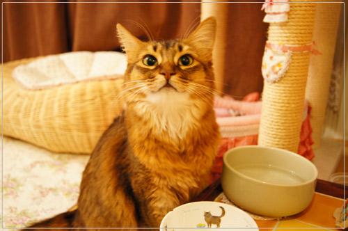 ソマリ猫.jpg