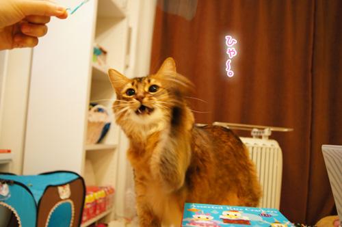 ソマリ猫遊ぶ.jpg