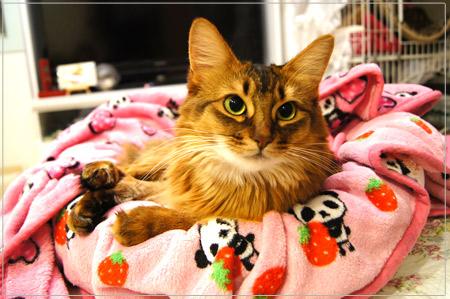 ソマリ・ルディ色の猫は、ねこたぬき