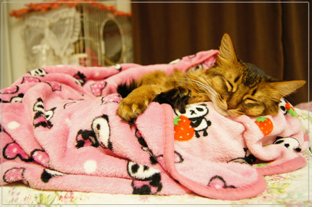ぐぅぐぅ寝るソマリの猫モンさん