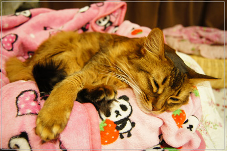 ソマリの幸せ猫生活