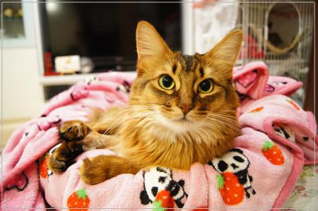 ソマリの猫モンさんは今日も元気