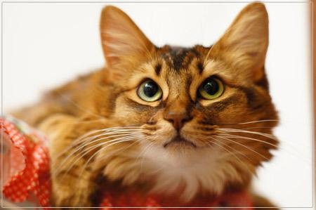 ソマリの猫モンさん@α55単焦点レンズ
