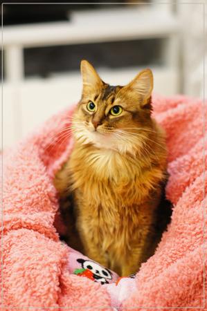 羊毛毛布とソマリの猫
