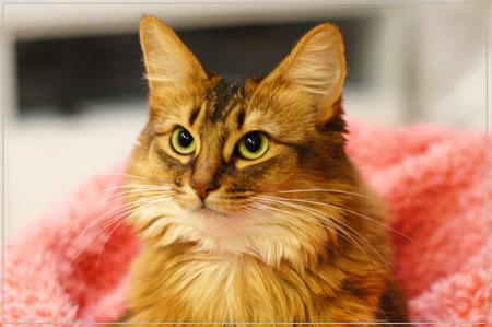 キリッとしたソマリの猫顔