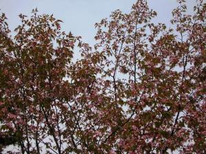 葉桜っていうのかしら???