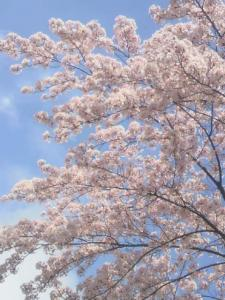 桜、きれいだね