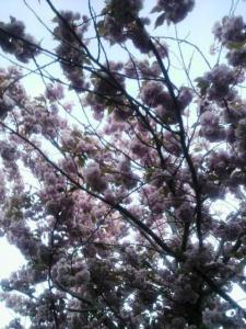 桜はまだ咲いてたよ