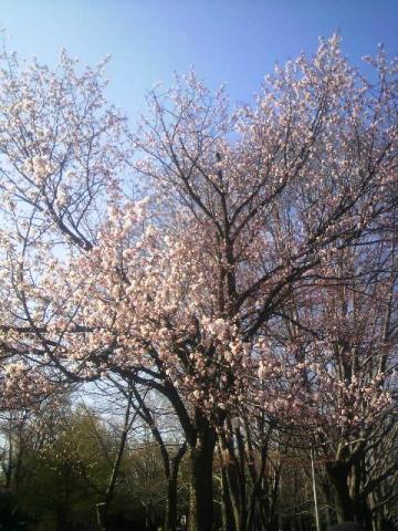 円山公園の桜2