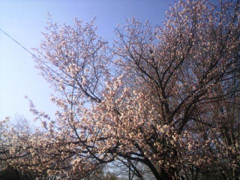 円山公園の桜1