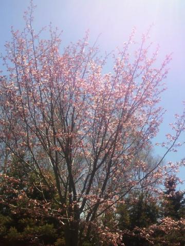桜におひさま。