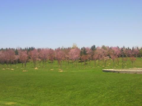 桜の咲き始めだね。