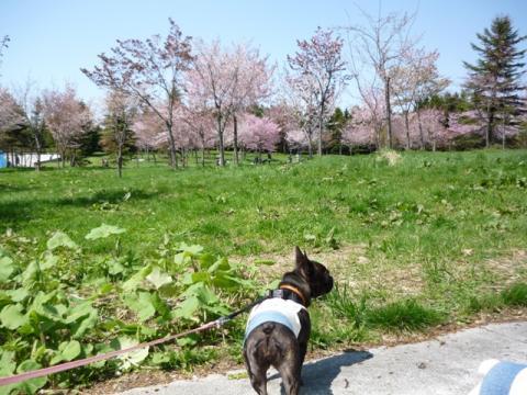 桜とマツリ