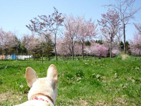 ミコもお花見中。