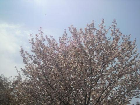 この木が一番咲いてたかな。