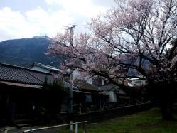 20110326山頂の雪と桜