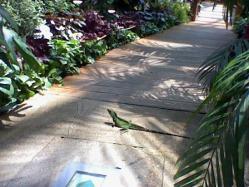 散歩中のイグアナ