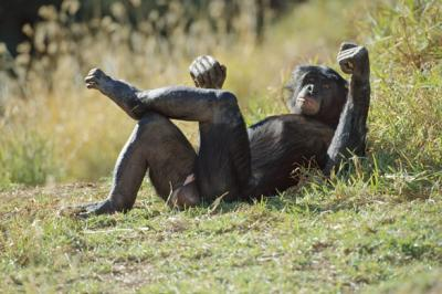 Bonobo-Apes.jpg