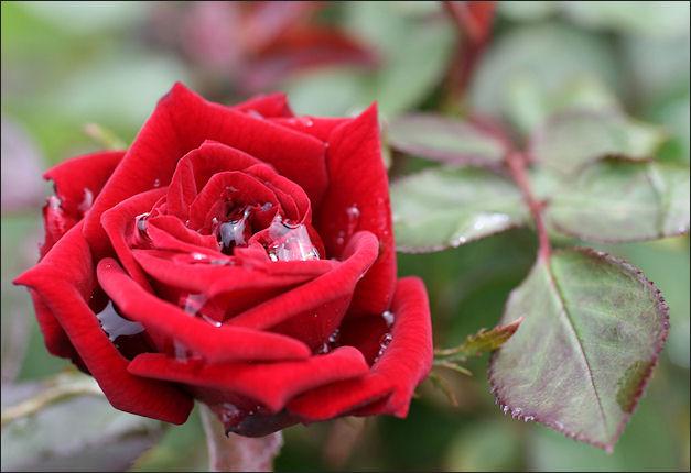 バラ初咲き