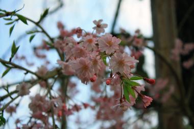 ☆06しだれ桜
