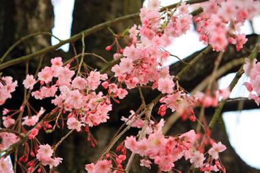 ☆05しだれ桜