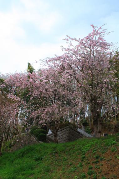 05しだれ桜-