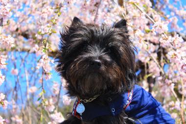 03しだれ桜とぼく
