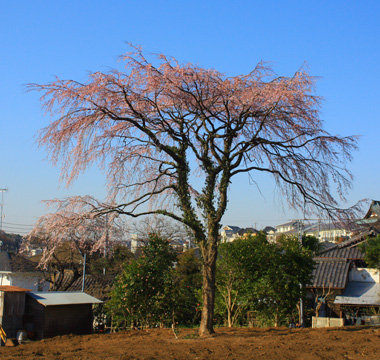 05しだれ桜 のコピー