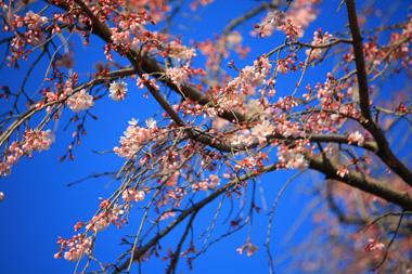 01しだれ桜 のコピー