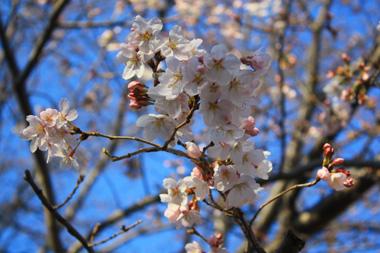 /14公園の桜 のコピー