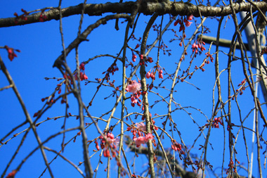 /13桜 のコピー